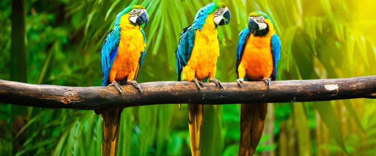 parrots-forest-wild-branch-jungle-birds-Coconut-Leaves-picture-wallpaper (1)